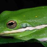 Treefrog by Randy Stapleton