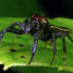 Jumping spider by Randy Stapleton