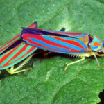 Striped leafhoppers photo by Randy Stapleton