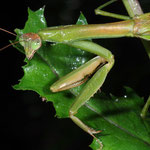 Praying Mantis, Macrophotography by Randy Stapleton