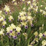 Iris, les senteurs du Quercy