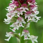 orchidée dans le Lot