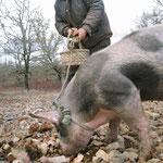 Cavage au cochon, recherche de la truffe