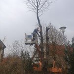 Baumfällarbeiten mit einsatz von Hebebühnen