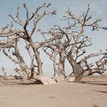 Sénégal - Baobab en brousse