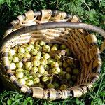 Basatia, o manzana silvestre recogido en las faldas del monte Larrun
