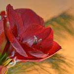 19 52 Die Weihnachtsblüte