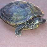 Singaraja chinesischer Tempel Schildkröte