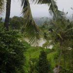 Reisfelder - ricefields