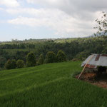 Ricefields with view