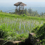 ricefield with a view - or like Gede says: Surti Tejo