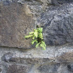 Pflanze auf Fels - plant growing on a rock