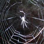 Spinnennetz - spiderweb