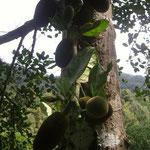 Jackfrüchte - jackfruits