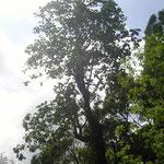großer Baum - big tree
