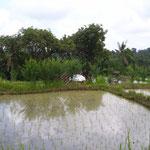 Reisfeld - ricefield