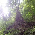 geheinisvoller Baum - big tree