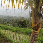 ricefield with a view
