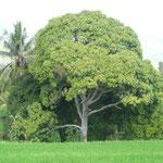 Huge mango-tree