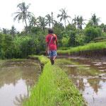 Pematang - Pfad in den Reisfeldern - Path in the ricefields