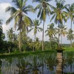 Spiegelpalmen - palms and ricefields