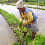Reispflanzerin - farmer planting rice