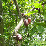 Cacao in the tree...