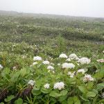 樽前山の外輪斜面。イソツヅジ、マルバシモツケなどが一面見られる。