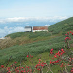 タカネナナカマドと新・旧羊蹄山避難小屋