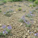 砂礫地の植生