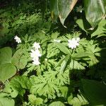 山麓は春の花が満開です。ニリンソウ