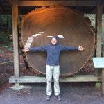 Redwoods Bäume