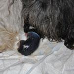 Der erste Welpe, eine Hündin, ist geboren.