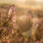 Spinnennetz Mehlinger Heide