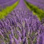 Lavendelfels bei Grünstadt