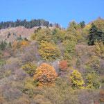 Forêt dans la descente du Turini.