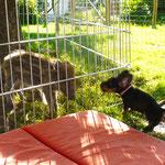 Amsel - hat sichtlich Spaß mit Schwein Antje