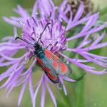 Beilfleckwidderchen an Flockenblume