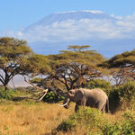 слоны на фоне Килиманджаро в парке Амбосели