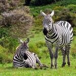 зебры в национальном парке Кении