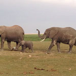 Слоны в национальном парке Амбосели