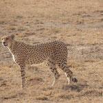 Гепард в национальном парке Кении