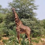Жираф в парке Амбосели