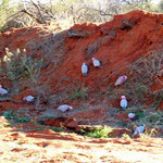 Galah`s (Papagei) aud dem Camping nahe Kings-Canyon