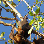Katherine Gogrge ->Flying Foxes