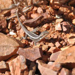 Reptil Ormiston Gorge (West MacDonell Nationalpark)