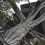 75 m hoher Baum zu erklimmen