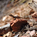 Reptil im Ormiston Gorge (West MacDonell Nationalpark)