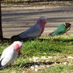 Papageien - Galah`s und Ringneck auf dem Camping nach Alice Springs