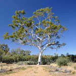 Ghost Gum Tree East Mac`s